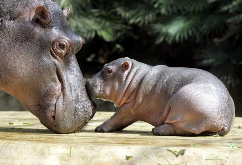 Afecto de animales hacia sus cr as diario de javier birlanga for El hipopotamo muebles